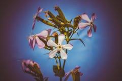 Όμορφος χλωμός - ρόδινα officinalis saponaria Στοκ Εικόνα
