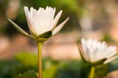 όμορφος λωτός λουλου&delta Στοκ Φωτογραφία