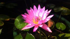 όμορφος λωτός λουλου&delta Στοκ εικόνα με δικαίωμα ελεύθερης χρήσης