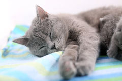 Όμορφος ύπνος γατών, άποψη κινηματογραφήσεων σε πρώτο πλάνο Στοκ φωτογραφία με δικαίωμα ελεύθερης χρήσης