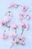 Όμορφος floral, υπόβαθρο άνοιξη με τα ιαπωνικά λουλούδια κερασιών Στοκ φωτογραφία με δικαίωμα ελεύθερης χρήσης
