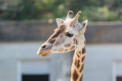 Όμορφος Giraffe στενός επάνω, Giraffe στο δάσος Στοκ Εικόνες