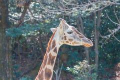 Όμορφος Giraffe στενός επάνω, Giraffe στο δάσος Στοκ Εικόνα
