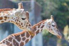 Όμορφος Giraffe στενός επάνω, Giraffe στο δάσος Στοκ Φωτογραφίες
