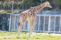 Όμορφος Giraffe στενός επάνω, Giraffe στο δάσος Στοκ εικόνες με δικαίωμα ελεύθερης χρήσης