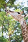 Όμορφος Giraffe στενός επάνω, Giraffe Camelopardalis, ο πιό ψηλός Στοκ εικόνες με δικαίωμα ελεύθερης χρήσης