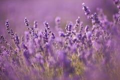 Όμορφος lavender τομέας στο ηλιοβασίλεμα Στοκ Εικόνες