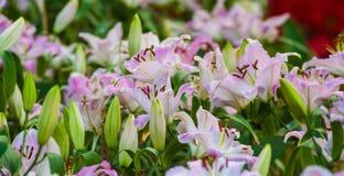 Όμορφος lilly ανθίστε. Στοκ Φωτογραφία