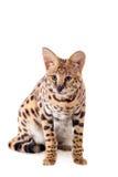 Όμορφος serval, Leptailurus serval Στοκ Εικόνες