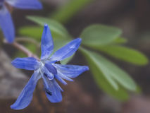 Όμορφος squill βλαστός λουλουδιών του /scilla bifolia/στο φυσικό υπόβαθρο Στοκ Φωτογραφία