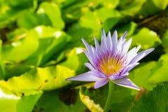Όμορφος waterlily ή λωτός στη φύση Στοκ εικόνες με δικαίωμα ελεύθερης χρήσης