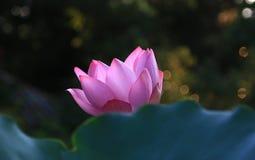 Όμορφος waterlily και φύλλα Στοκ εικόνες με δικαίωμα ελεύθερης χρήσης