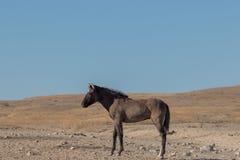 Όμορφο άγριο άλογο στην έρημο του Utah στοκ εικόνα