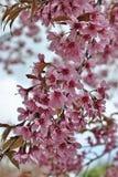 Όμορφο άγριο άνθος κερασιών Himalayan Στοκ φωτογραφία με δικαίωμα ελεύθερης χρήσης