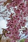 Όμορφο άγριο άνθος κερασιών Himalayan Στοκ εικόνες με δικαίωμα ελεύθερης χρήσης