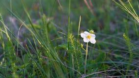 Όμορφο άγριο άσπρο λουλούδι στην ηλιοφάνεια στοκ εικόνες