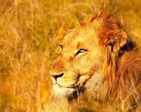 Όμορφο άγριο αφρικανικό λιοντάρι Στοκ φωτογραφία με δικαίωμα ελεύθερης χρήσης