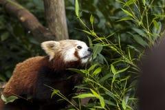 Όμορφο άγριο κόκκινο να προμηθεύσει με ζωοτροφές της Panda μέσω του χαμόκλαδου Στοκ Φωτογραφία