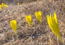 Όμορφο άγριο λουλούδι clusiana Sternbergia στην πλήρη άνθιση στοκ φωτογραφίες