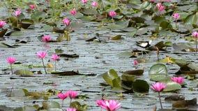Όμορφο άγριο φασιανός-παρακολουθημένο πουλί Jacana στη λίμνη απόθεμα βίντεο