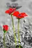 Όμορφο άγριο Anemone (windflower) για την ημέρα του βαλεντίνου - Στοκ Εικόνα