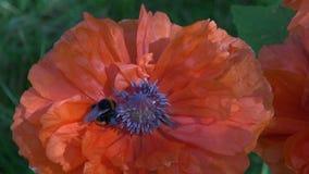 Όμορφο άγριο bumblebee στην παπαρούνα απόθεμα βίντεο