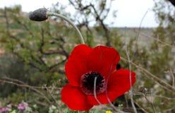 Όμορφο άγριο poopy λουλούδι στοκ φωτογραφία