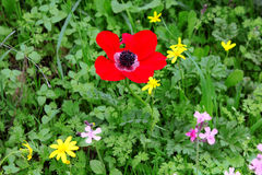 Όμορφο άγριο poopy λουλούδι στοκ φωτογραφίες