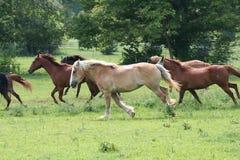 όμορφο άλογο Στοκ Εικόνες