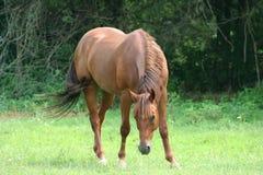 όμορφο άλογο Στοκ Εικόνα
