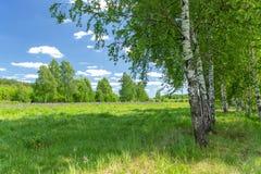 Όμορφο άλσος σημύδων στη θερινή ηλιόλουστη ημέρα Του χωριού τοπίο στοκ φωτογραφία με δικαίωμα ελεύθερης χρήσης