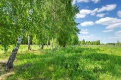 Όμορφο άλσος σημύδων στη θερινή ηλιόλουστη ημέρα Του χωριού τοπίο στοκ εικόνα με δικαίωμα ελεύθερης χρήσης
