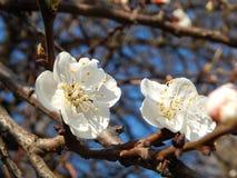 Όμορφο άνθισμα άνοιξη των οπωρωφόρων δέντρων Στοκ Φωτογραφίες