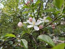 Όμορφο άνθισμα άνοιξη των οπωρωφόρων δέντρων Στοκ Φωτογραφία