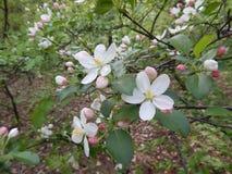 Όμορφο άνθισμα άνοιξη των οπωρωφόρων δέντρων Στοκ φωτογραφία με δικαίωμα ελεύθερης χρήσης
