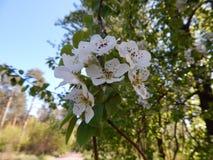Όμορφο άνθισμα άνοιξη των οπωρωφόρων δέντρων Στοκ φωτογραφίες με δικαίωμα ελεύθερης χρήσης