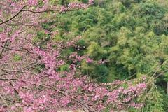 Όμορφο άνθος κερασιών ή υπόβαθρο λουλουδιών Sakura Στοκ Εικόνες