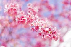Όμορφο άνθος κερασιών ή υπόβαθρο λουλουδιών Sakura Στοκ εικόνες με δικαίωμα ελεύθερης χρήσης