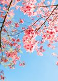 Όμορφο άνθος κερασιών λουλουδιών sakura την άνοιξη Στοκ φωτογραφία με δικαίωμα ελεύθερης χρήσης