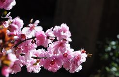 Όμορφο άνθος κερασιών στοκ φωτογραφία με δικαίωμα ελεύθερης χρήσης