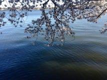 Όμορφο άνθος κερασιών Στοκ Φωτογραφία
