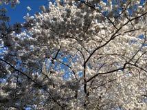 Όμορφο άνθος κερασιών Στοκ Εικόνες