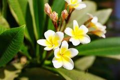 Όμορφο άνθος λουλουδιών plumeria στο δέντρο frangipani Στοκ εικόνα με δικαίωμα ελεύθερης χρήσης