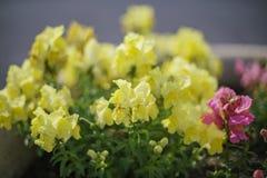 Όμορφο άνθος του κίτρινου majus Antirrhinum Στοκ Φωτογραφίες