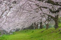 Όμορφο άνθος Sakura κερασιών στο πάρκο Tachikawa στοκ εικόνες