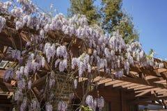 Όμορφο άνθος wisteria στον κήπο Descanso Στοκ Φωτογραφία