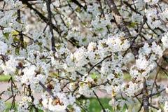 Όμορφο άσπρο άνθος την άνοιξη υπαίθριο Στοκ Εικόνα