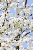 Όμορφο άσπρο άνθος την άνοιξη υπαίθριο Στοκ εικόνα με δικαίωμα ελεύθερης χρήσης