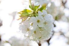 Όμορφο άσπρο άνθος την άνοιξη υπαίθριο Στοκ φωτογραφίες με δικαίωμα ελεύθερης χρήσης