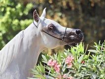 Όμορφο άσπρο αιγυπτιακό αραβικό άλογο στοκ εικόνες